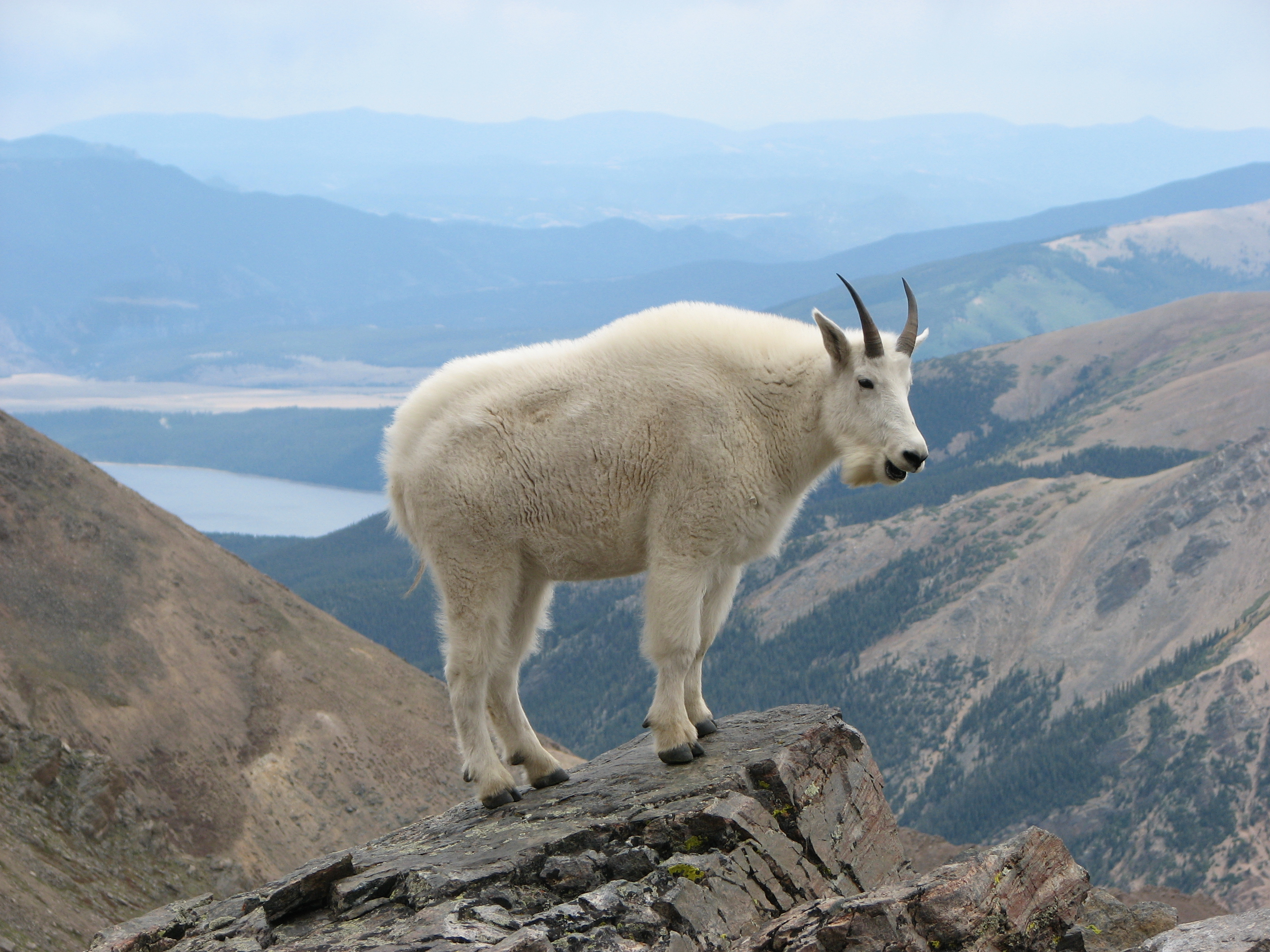 A strong mountain goat on top of Mount Massive